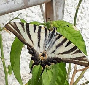 Afder Buterfly